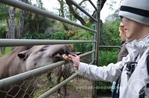Takeshi feeding a tapir, Adelaide Zoo