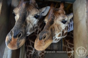 Feeding the giraffes, Adelaide Zoo